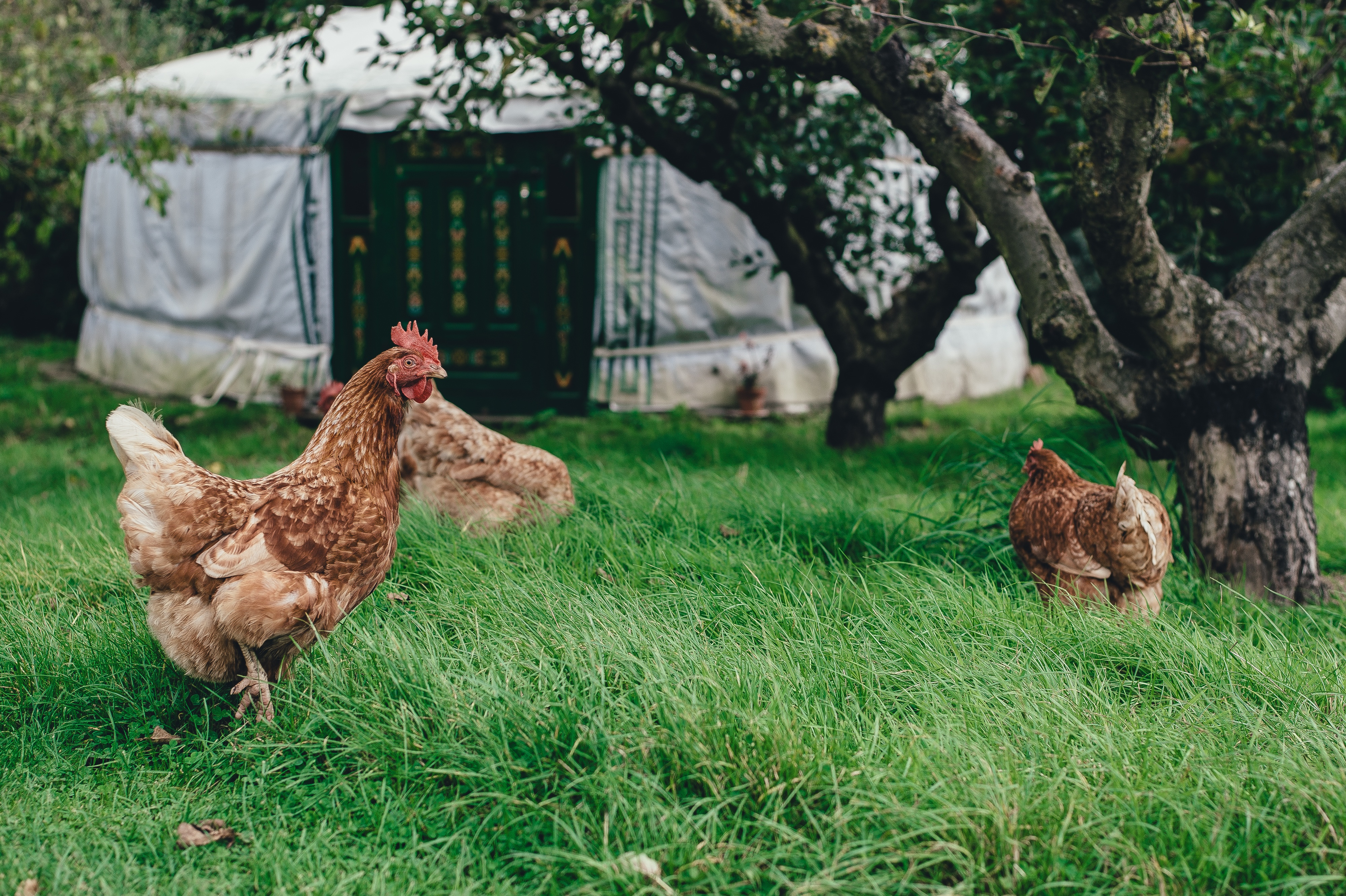 Kostenfrei wohnen - Jurte mit Hühnern, die auch das Leben genießen
